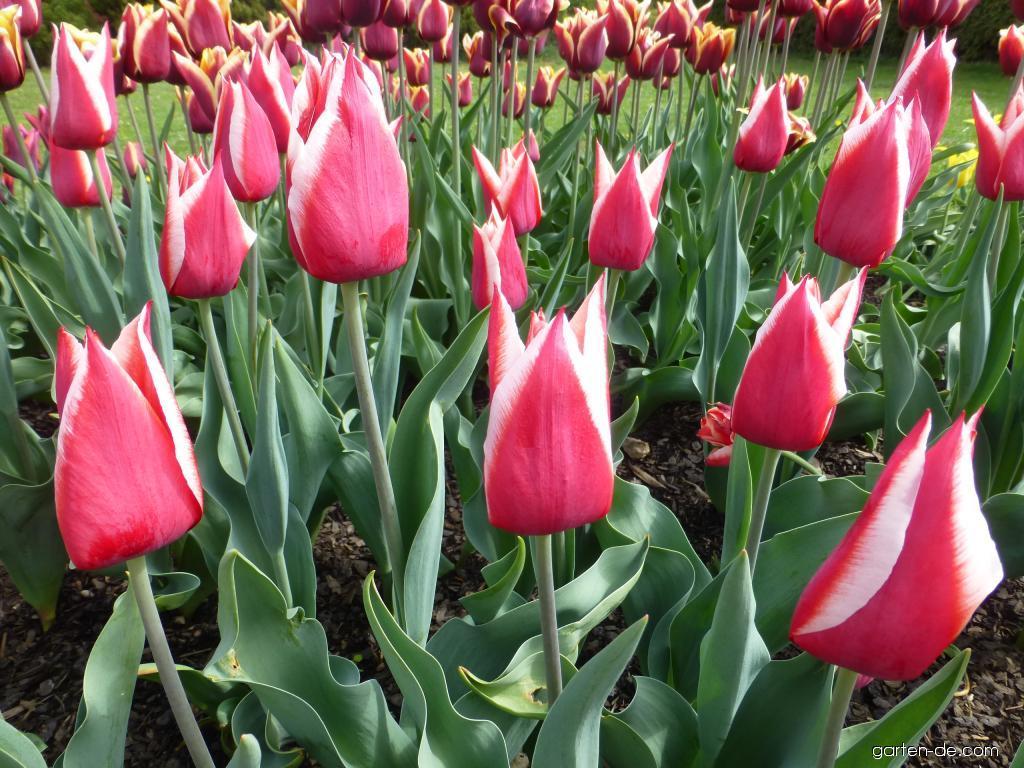 Tulpe - Tulipa Orlík