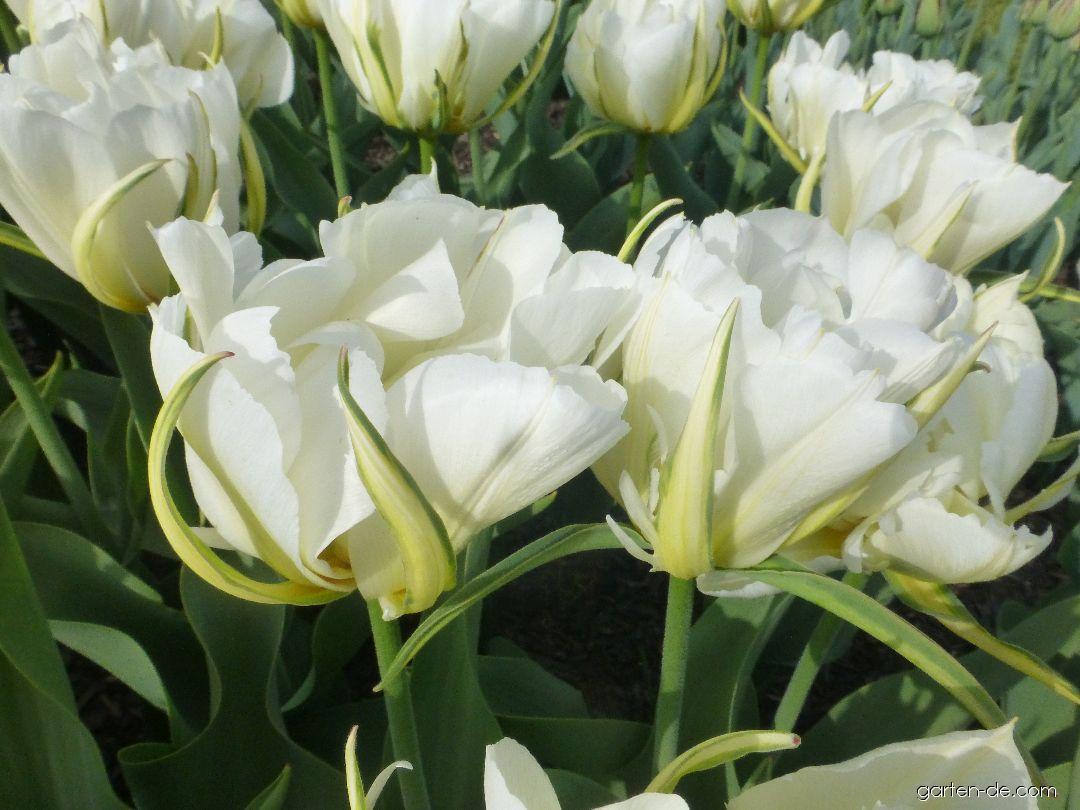Tulpe - Tulipa Mount Tacoma