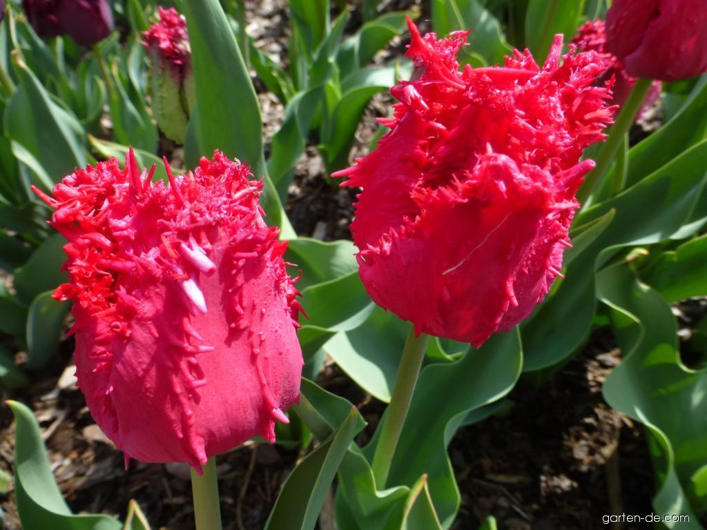 Tulpe - Tulipa Barbados