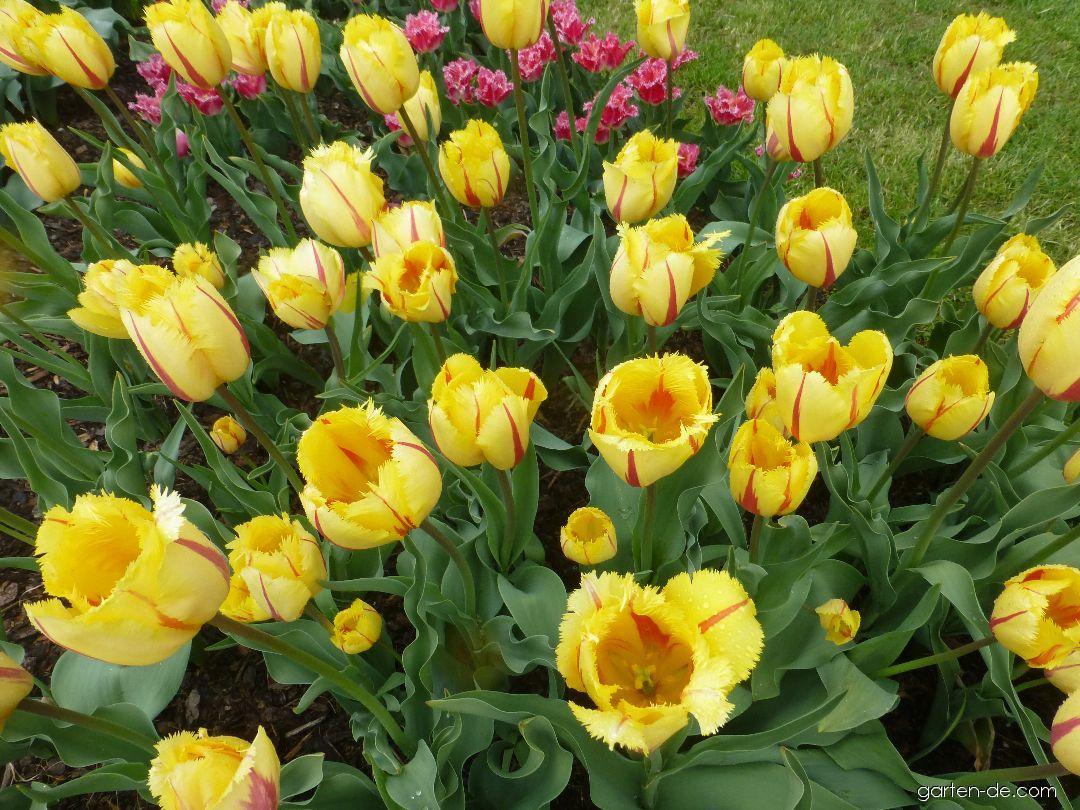 Tulpe - Tulipa Flamenco