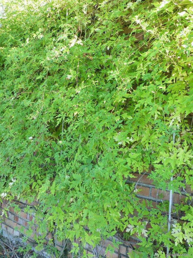 Révovník omějolistý (Ampelopsis aconitifolia)