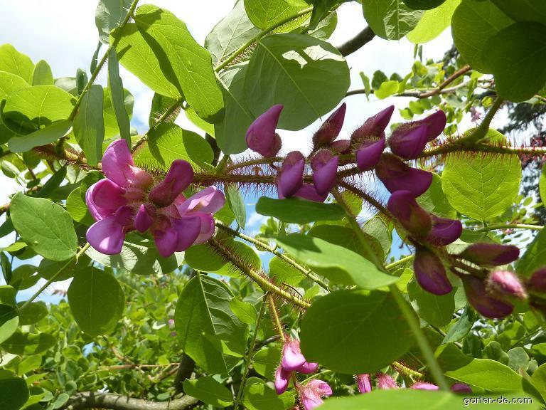 Trnovník huňatý - květ (Robinia hispida)