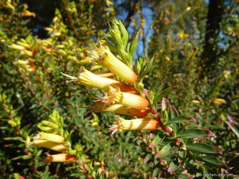 Cuphea - květ (Cuphea micropetala)
