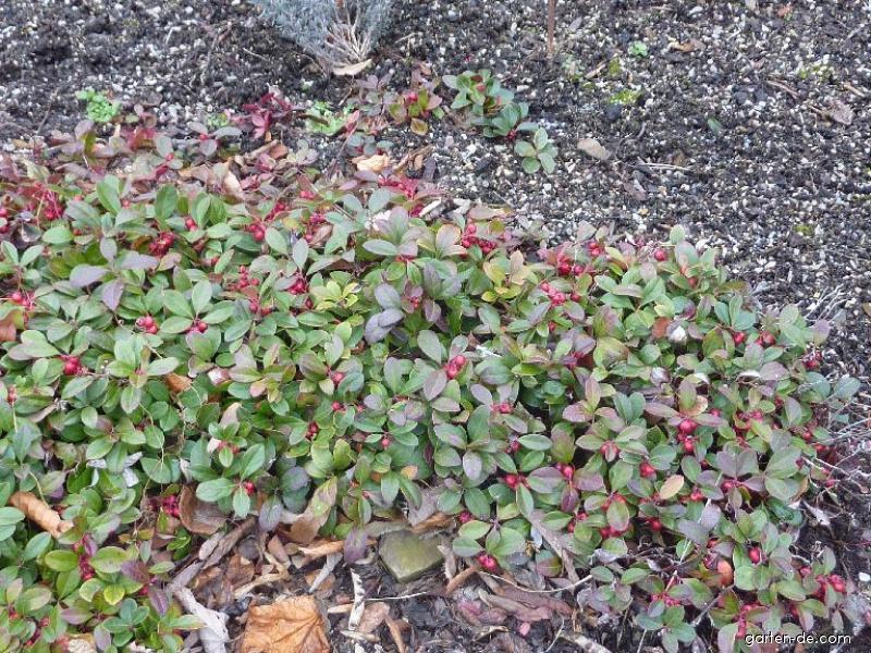 Niedere Scheinbeere - Gaultheria procumbens
