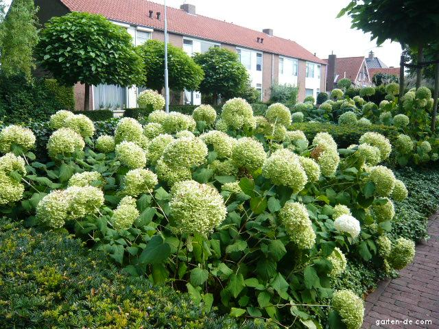 baumartigehortensie schneeballhortensie hydrangea arborescens garten. Black Bedroom Furniture Sets. Home Design Ideas