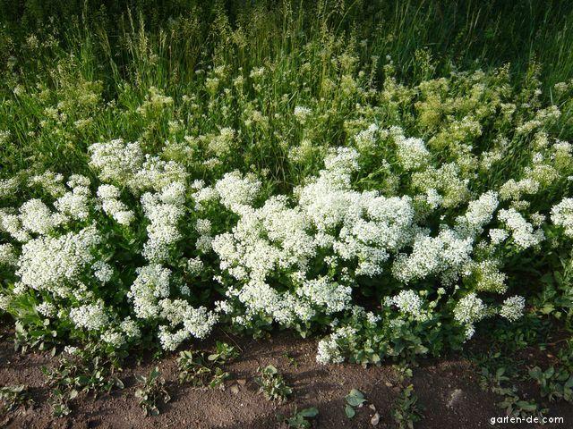 Pfeilkresse - Lepidium draba