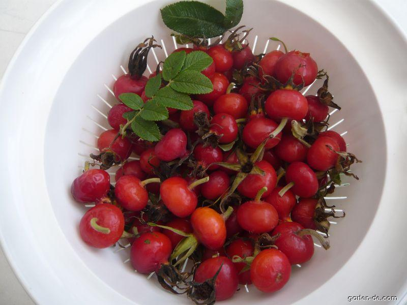 Růže svraskalá 1 plody říjen (Rosa Rugosa)