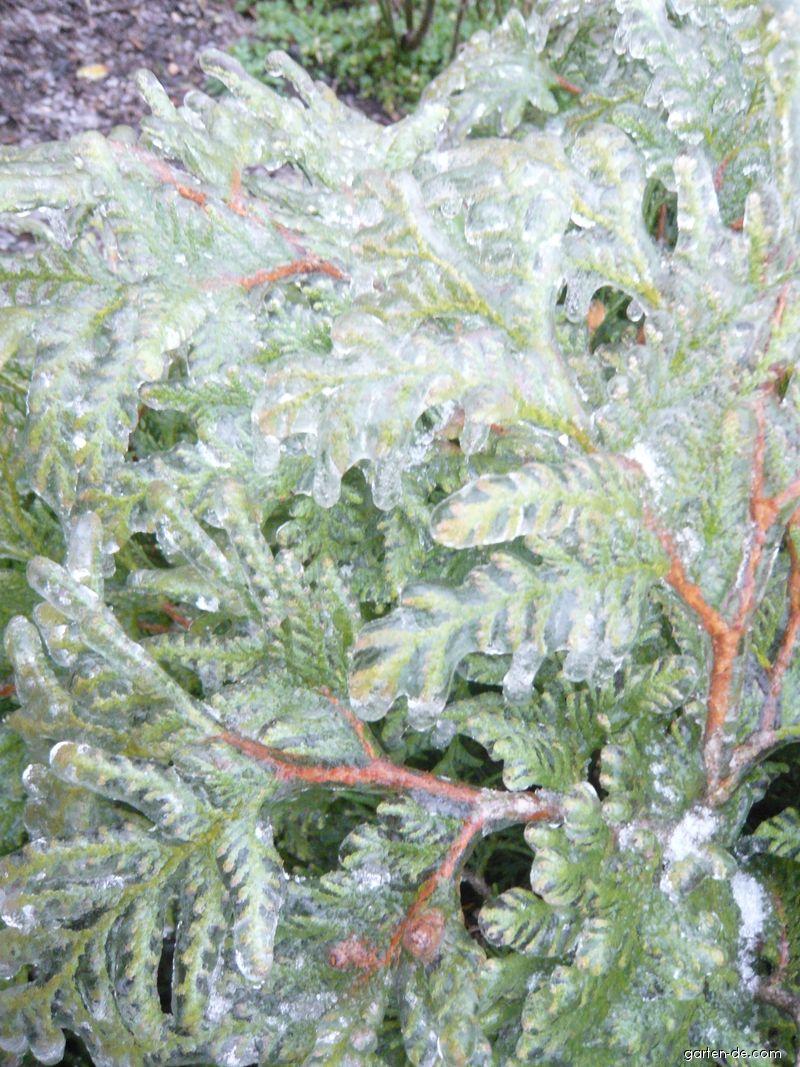 Zerav západní pokrytý ledem (Thuja occidentalis)
