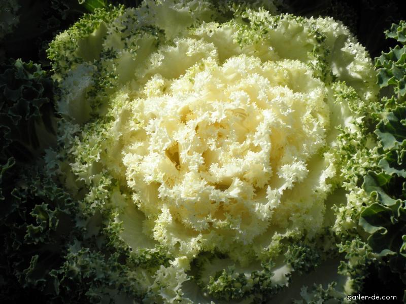 Okrasná kapusta (Brassica oleracea)
