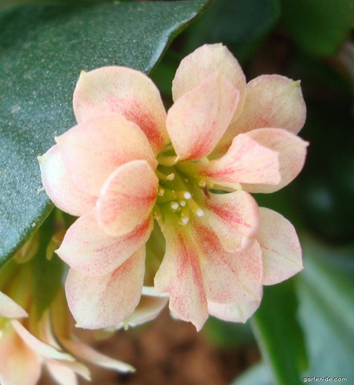 Kolopejka (Kalanchoe Calandiva)