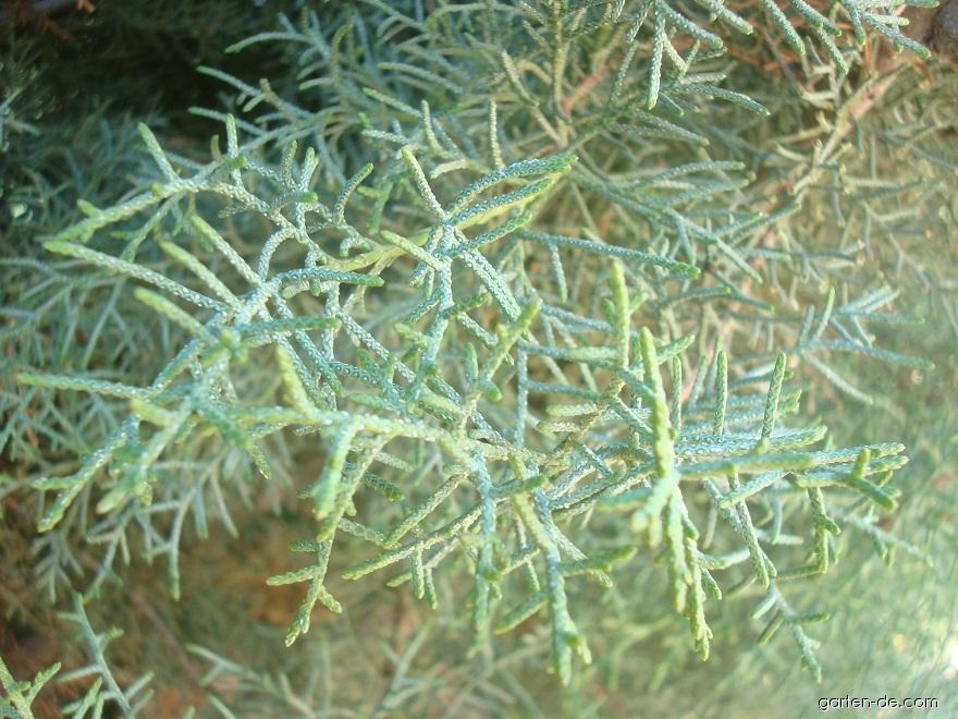 Arizona cypřiš (Cupressus arizonica)