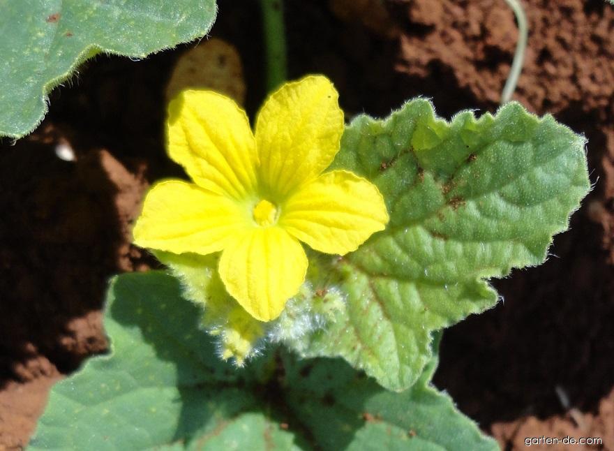 Tykev obecná - cuketa - me2ta květ (Cucurbita pepo var giromontiina)