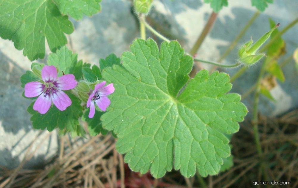 Kakost okrouhlolistý (Geranium rotundifolium)