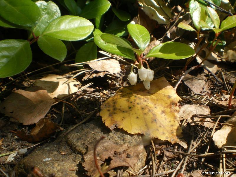 Libavka polehlá (Gaultheria procumbens)