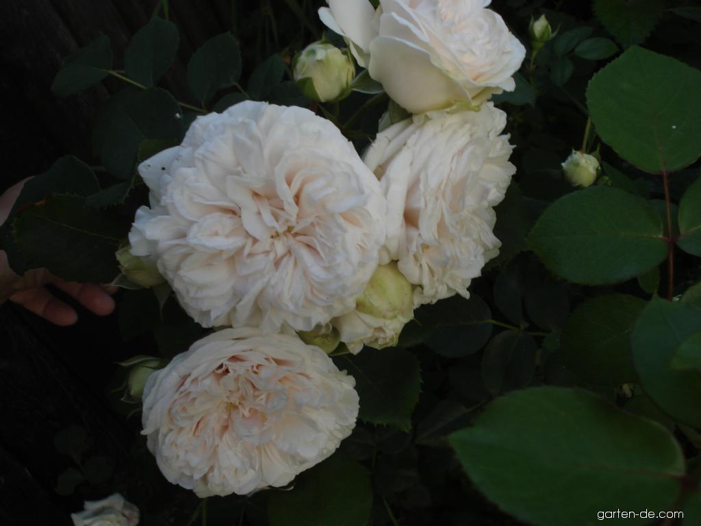 Rose - Rosa Praha 89