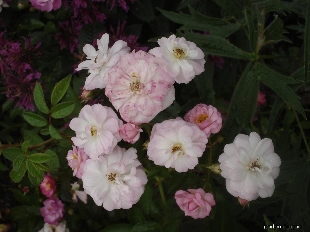 Rose - Rosa Baba Kay