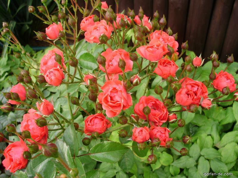 Růže pnoucí (Rosa)