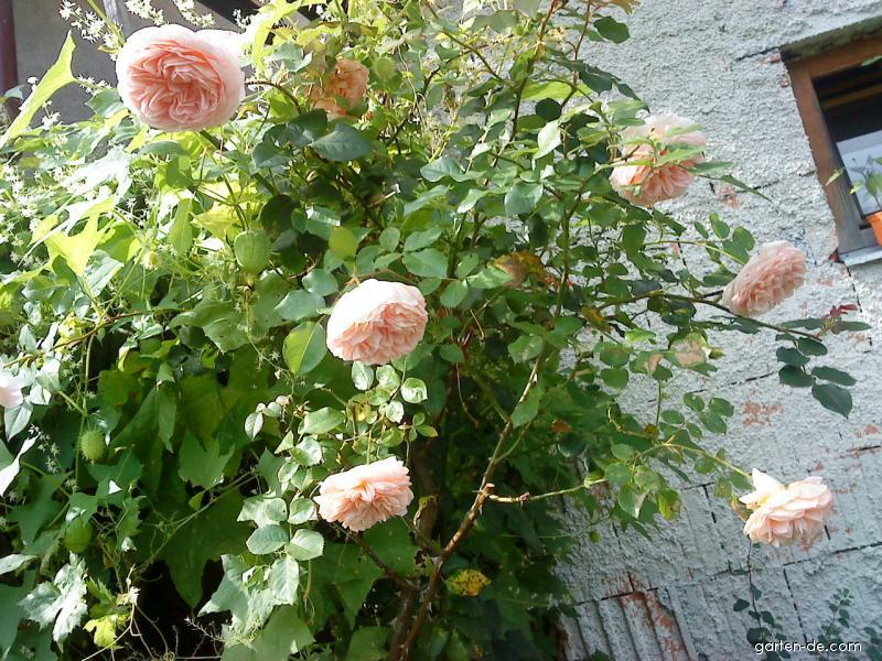 Růže popínavá (Rosa)