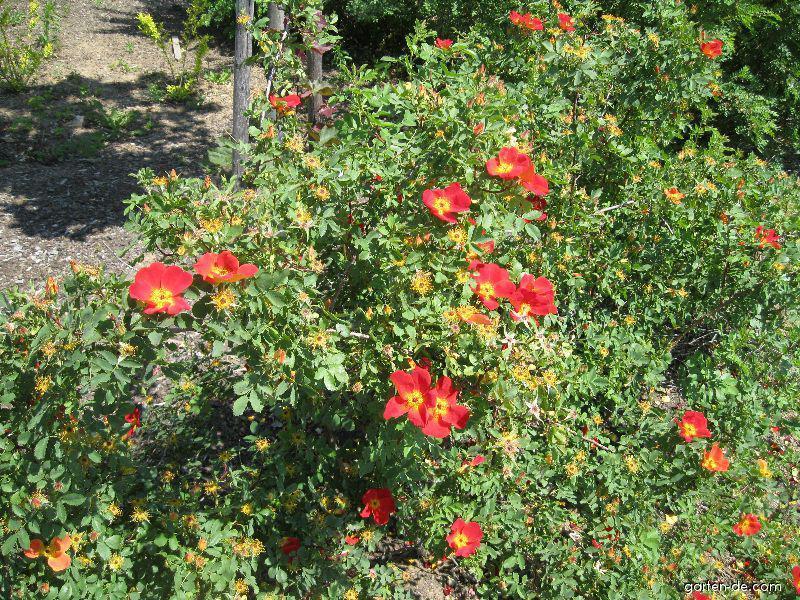 Růže žlutá (Rosa foetida Bicolor)