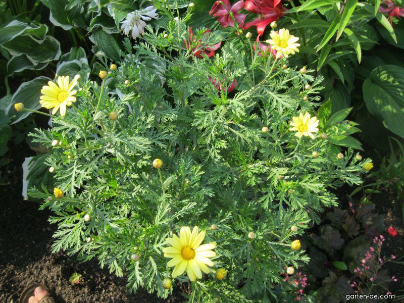 kopretina jamaica primrose argyranthemum garten. Black Bedroom Furniture Sets. Home Design Ideas