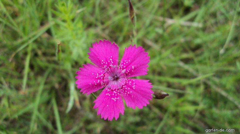 Hvozdík kropenatý (Dianthus deltoides)