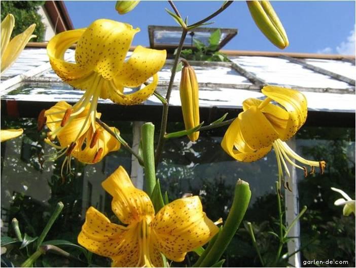 Lilie - Lilium x hybridum Citronella