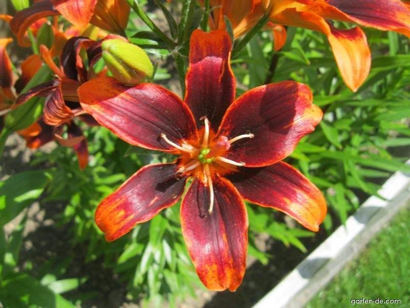 Lilie - Lilium x hybridum Forever Susan