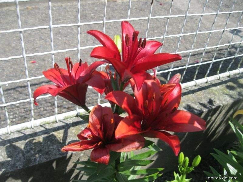 Lilie - Lilium x hybridum Solfarino