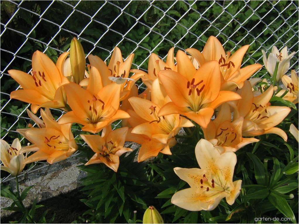 Lilie - Lilium x hybridum Royal Trinity