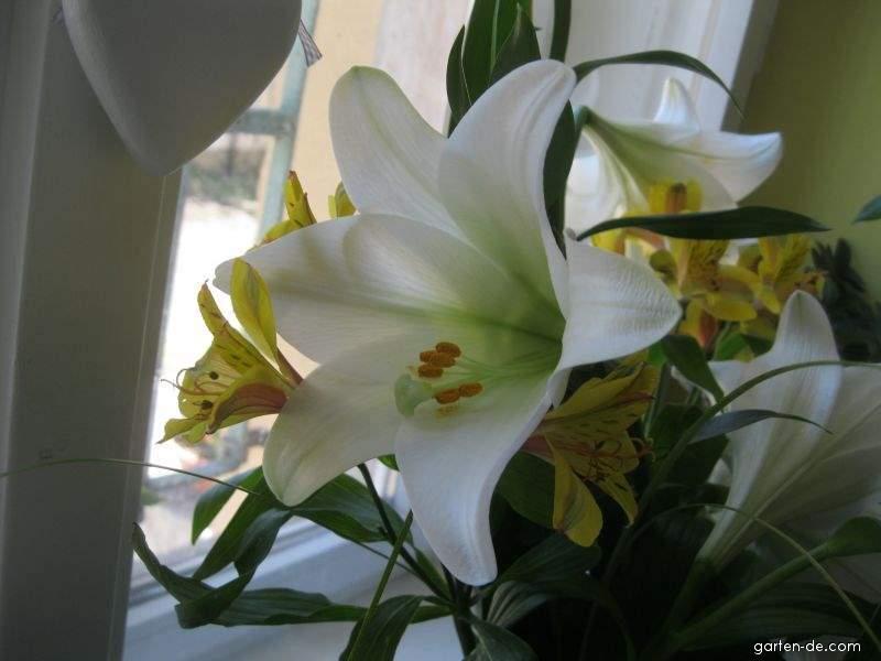 Lilie - Lilium x hybridum White Heaven