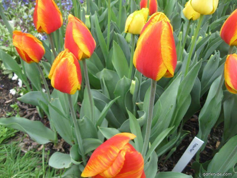 tulpe tulipa flair garten. Black Bedroom Furniture Sets. Home Design Ideas