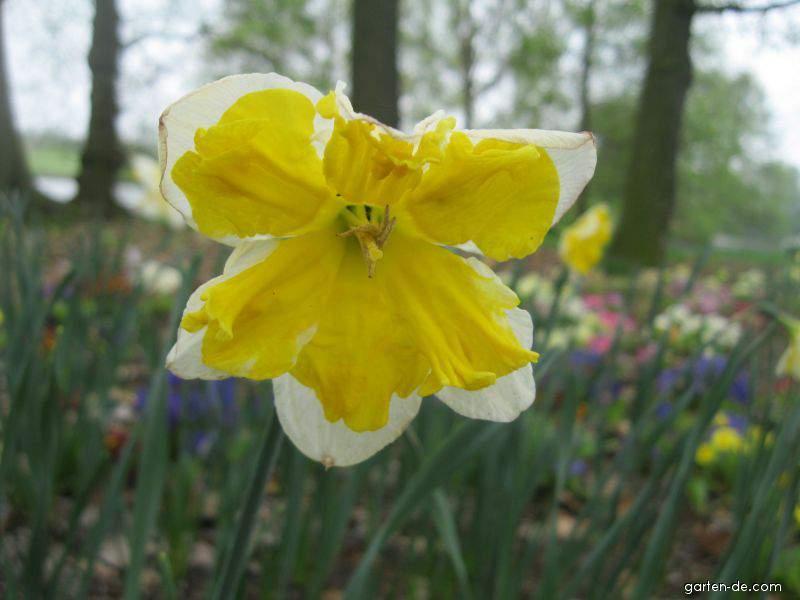 Narzisse - Narcissus Orangery