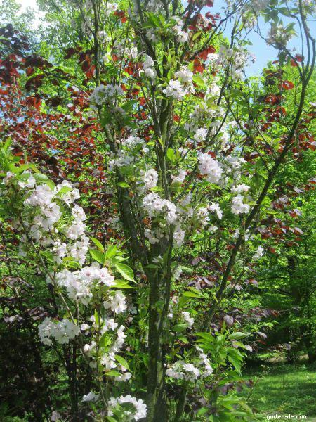 Třešeň pilovitá Amanogava (Prunus serrulata)