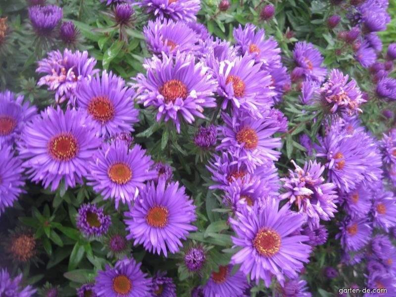 Raublattaster - Symphyotrichum novae-angliae Purple Dome