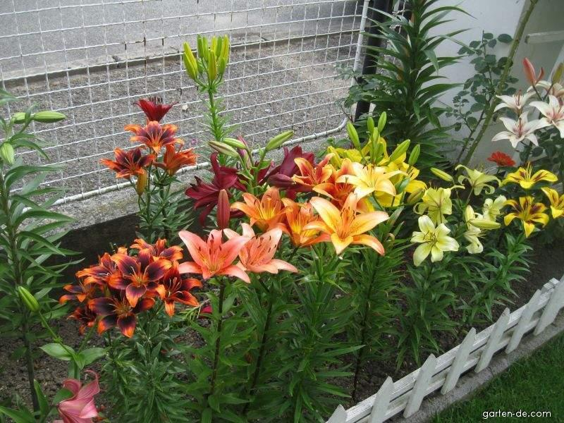 Záhony lilií (Lilium x sp)