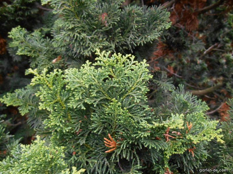 Cypřišek tupolistý (Chamaecyparis obtusa)