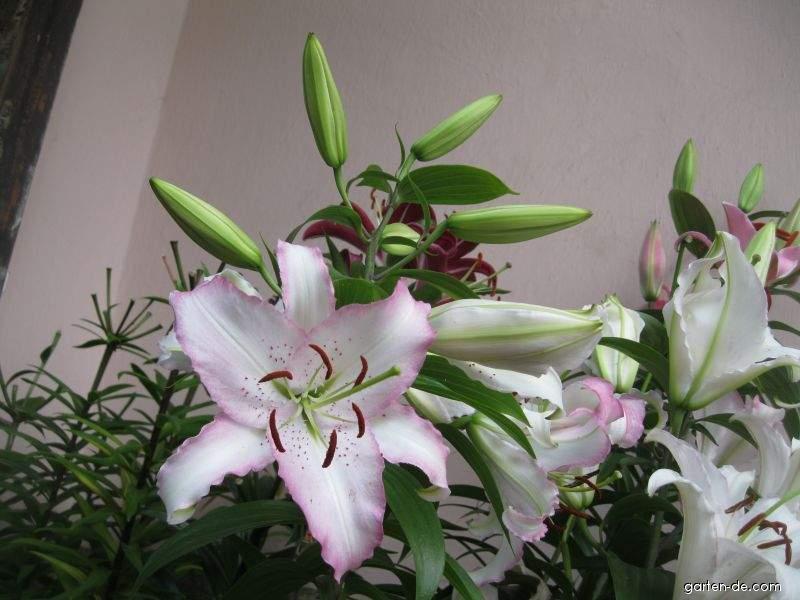 Lilie - Lilium x hybridum Brasilia