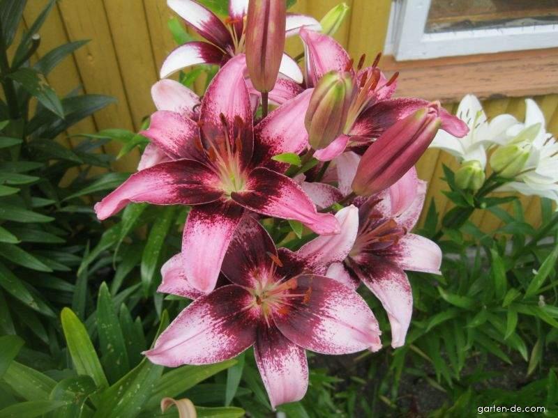 Lilie - Lilium x hybridum Thesire