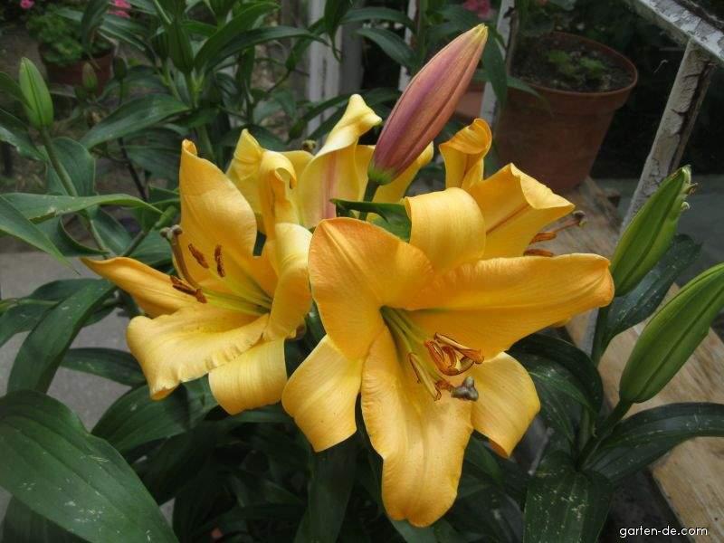 Lilie - Lilium x hybridum Saltarello