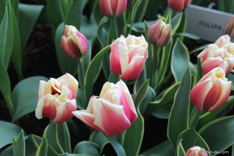 Tulpe - Tulipa Top Lips