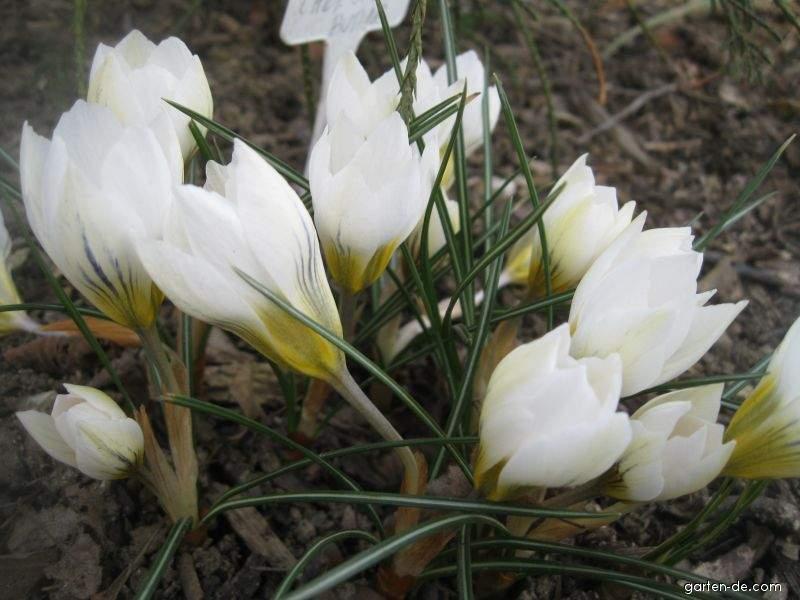 Balkan-Krokus - Crocus chrysanthus Snow Bunting