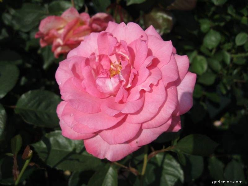 Růže Eliza (Rosa sp)