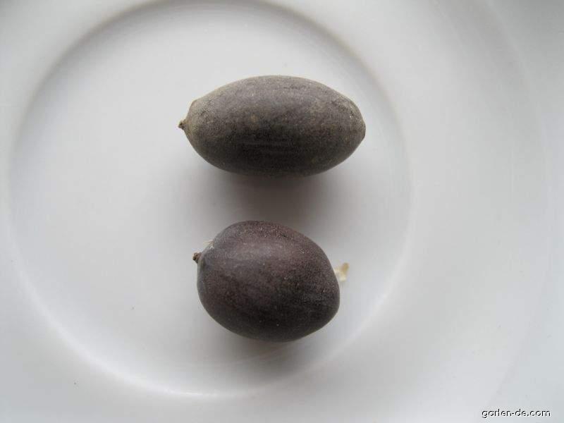 Indische Lotosblume - Nelumbo nucifera