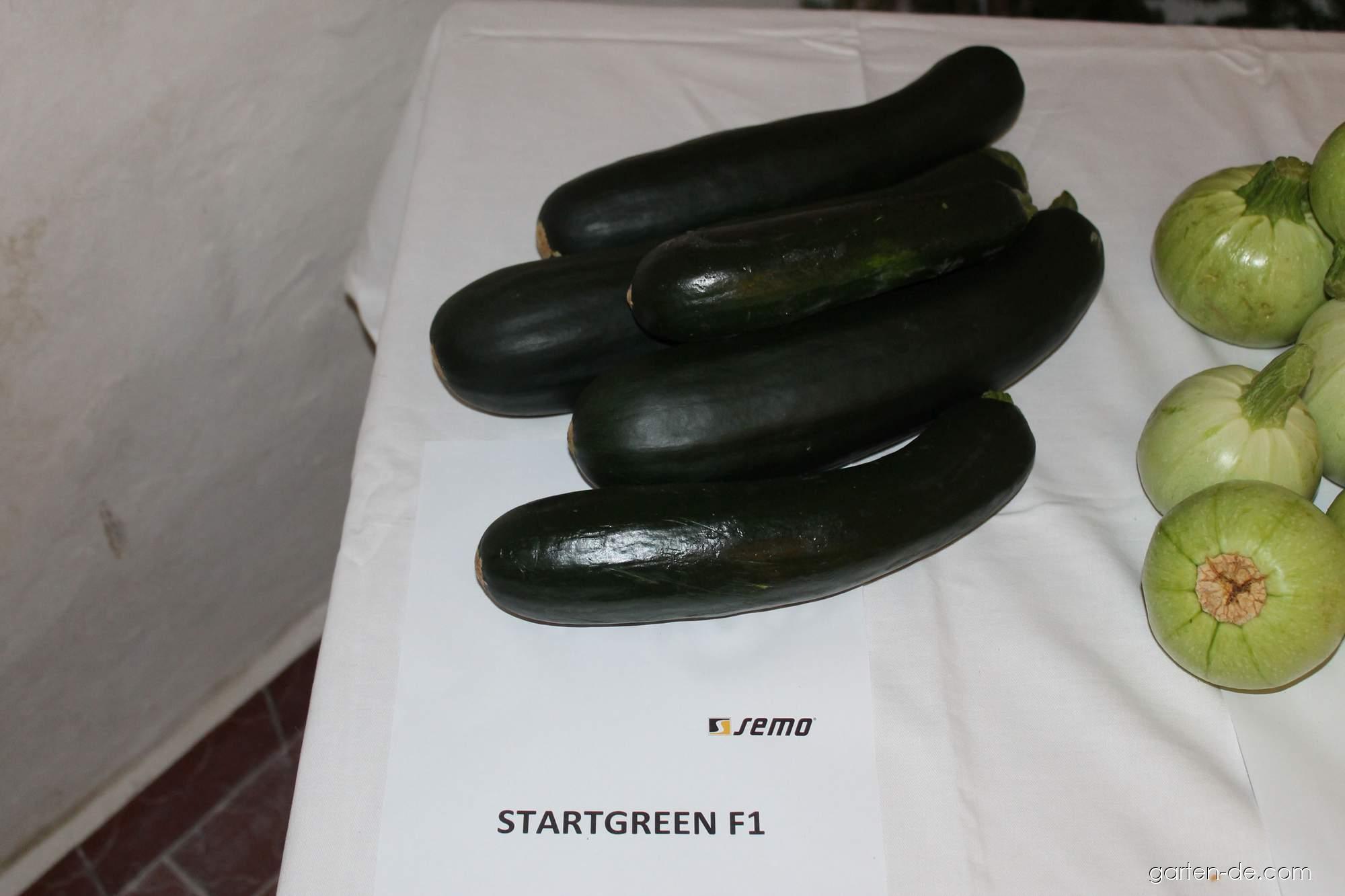 Tykev obecná - cuketa Startgreen (Cucurbita pepo)