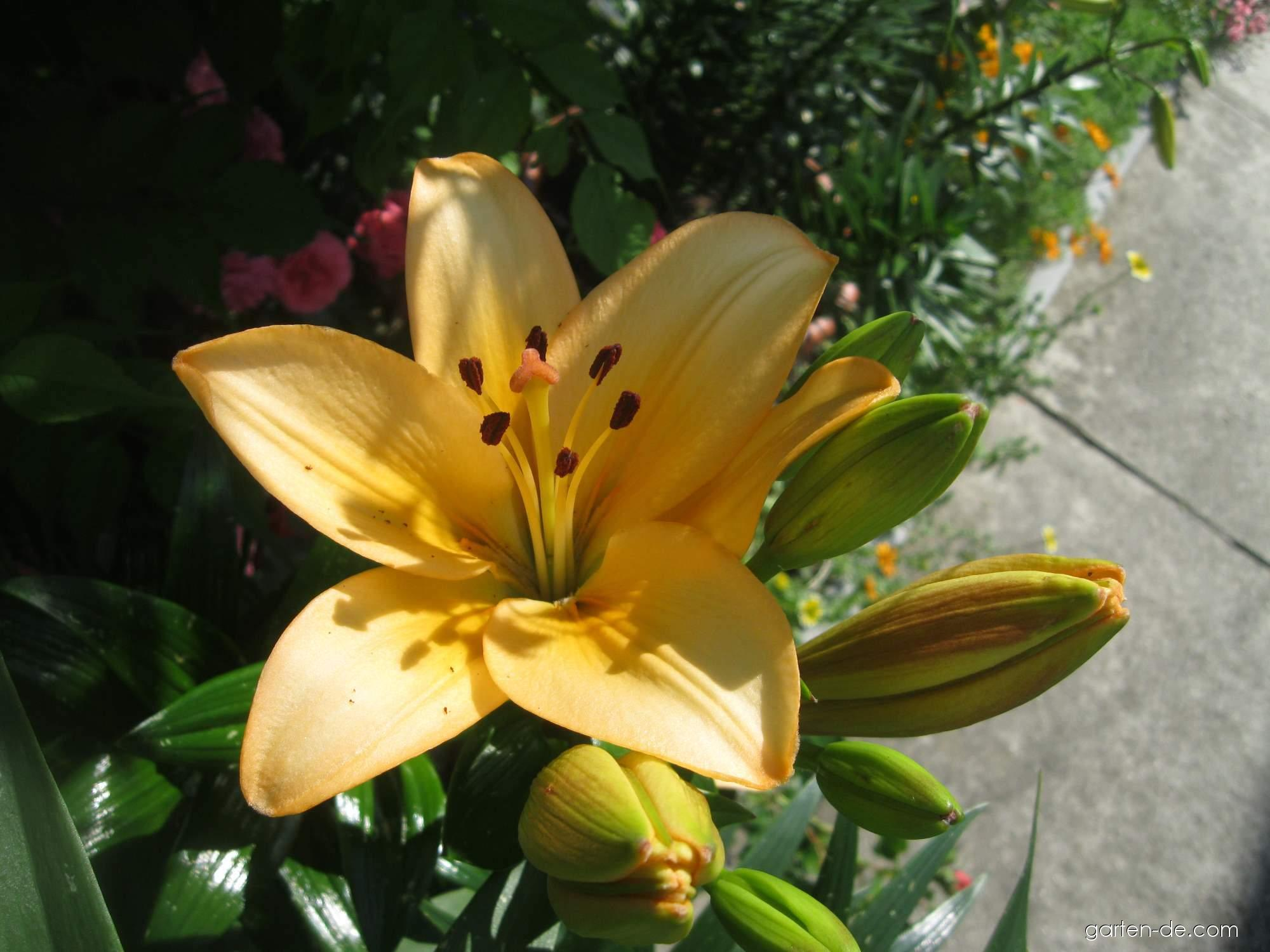 Lilie - Lilium x hybridum Menorca