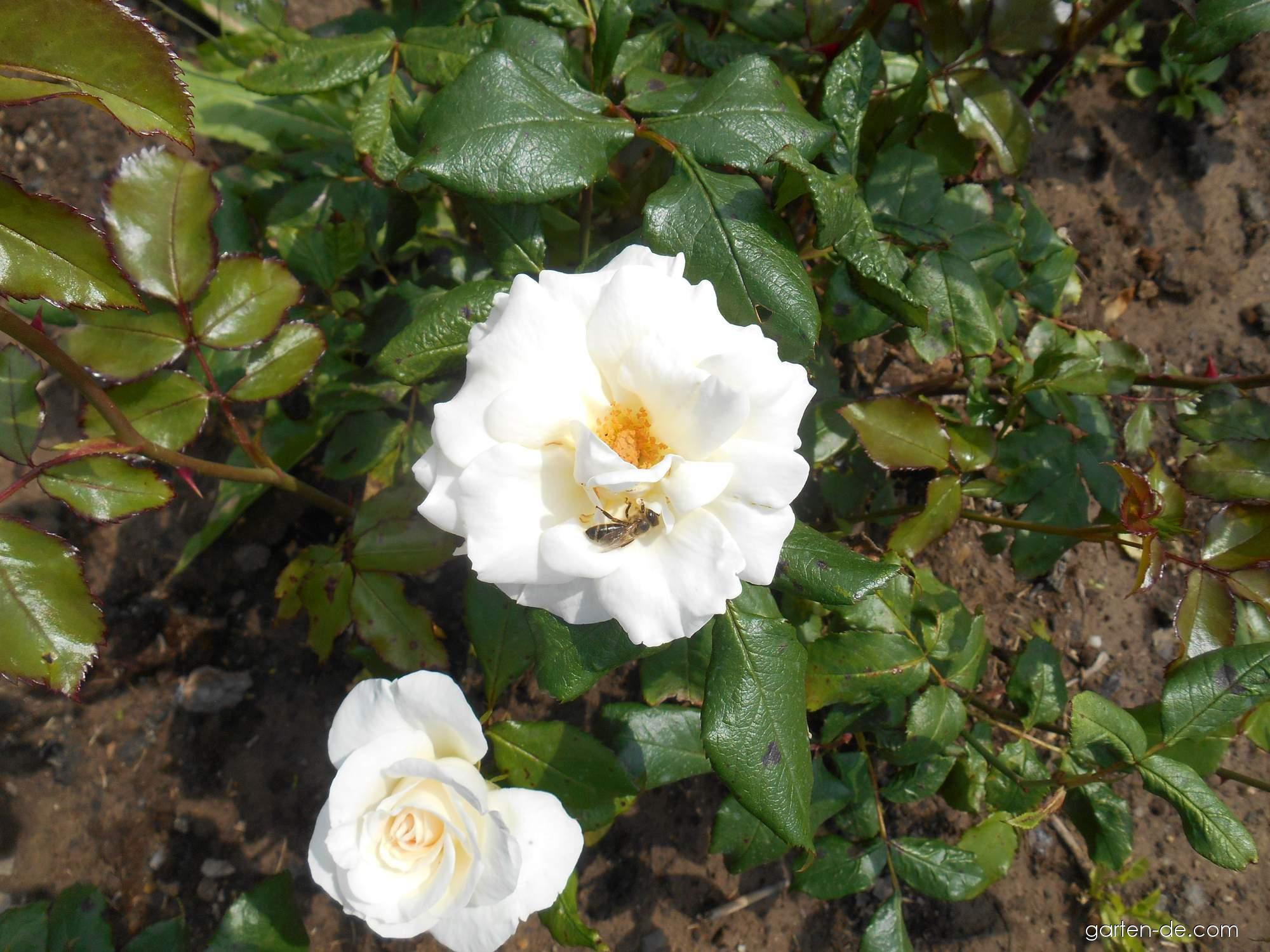 Rose - Rosa Akito