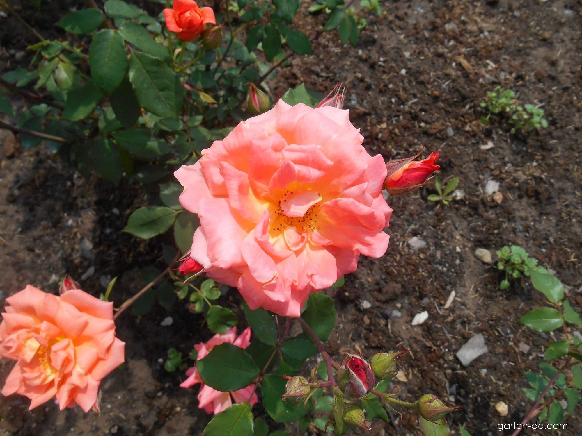 Rose - Rosa Plamja Vostoka