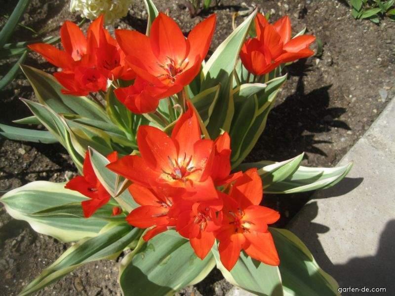 Tulipán Unicum (Tulipa praestans)