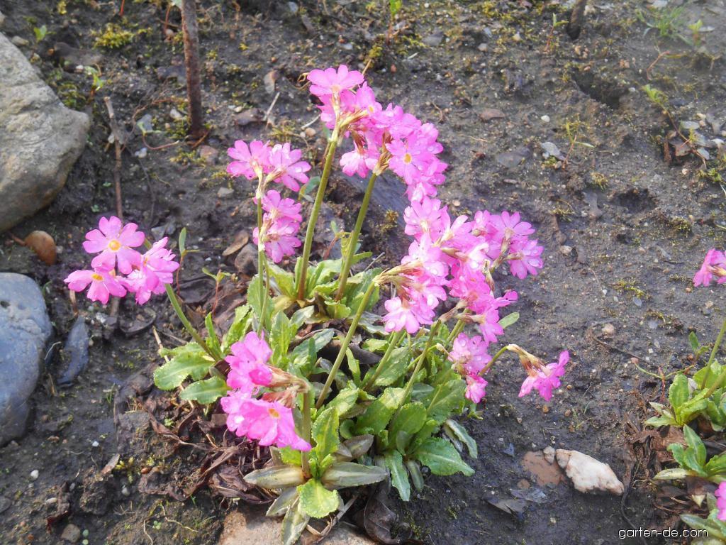 Rosen-Primel - Primula rosea