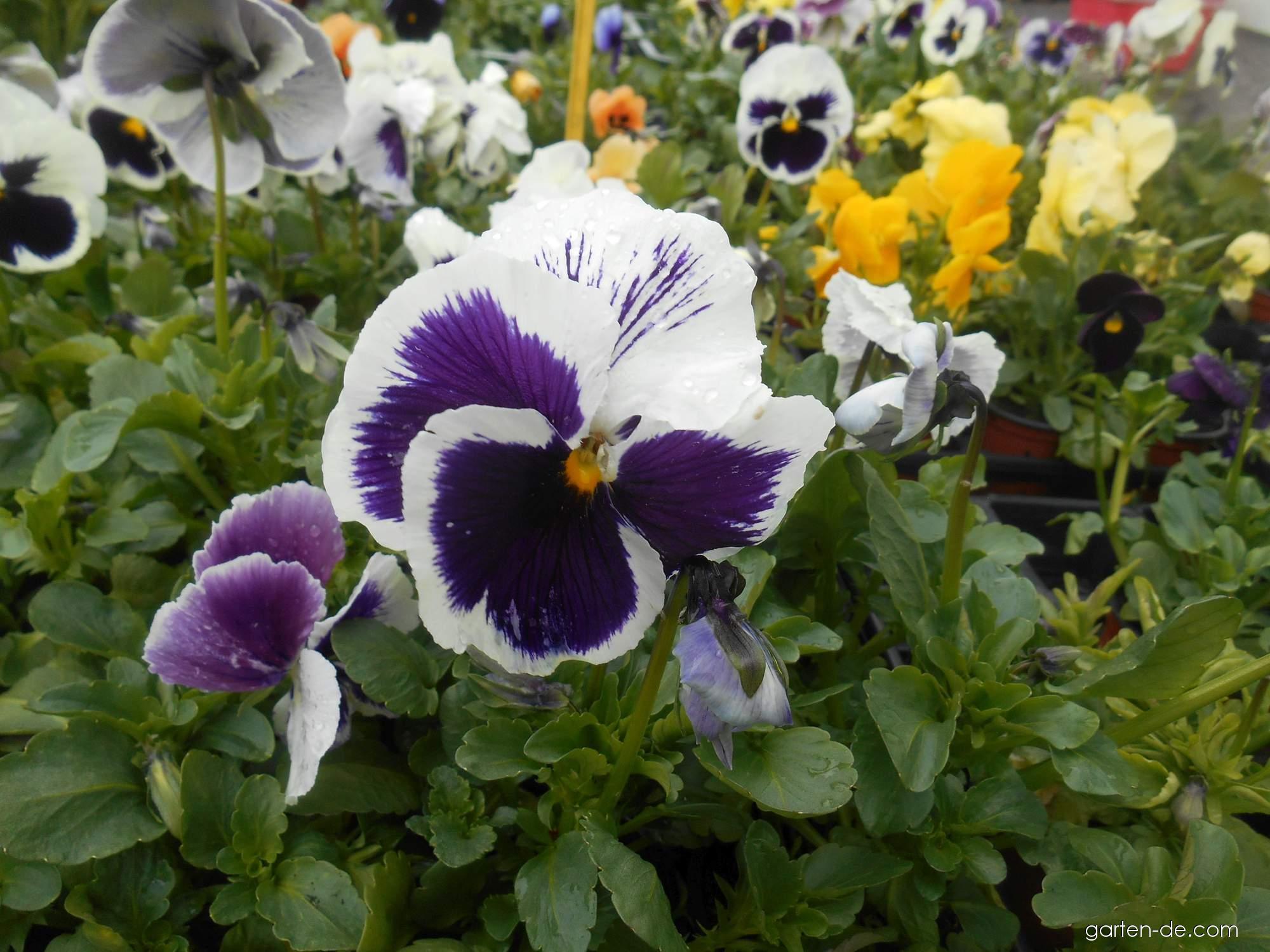 Garten-Stiefmütterchen - Viola x wittrockiana